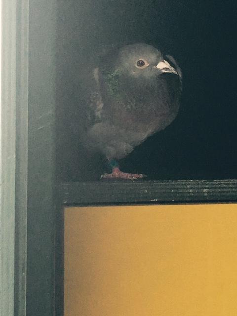 Pigeon by AVJ